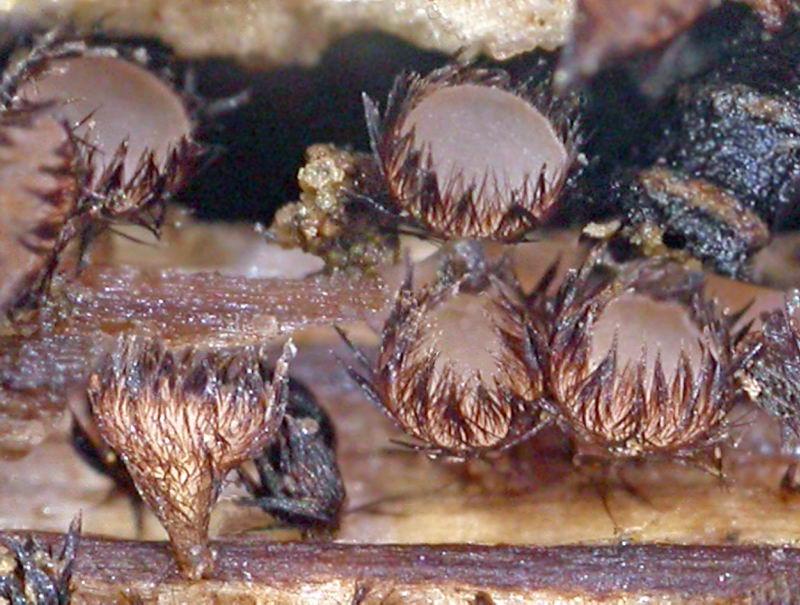jlcheype.free.fr/images/Ascomycetes/Trichopezizella%20relicina.JPG